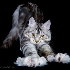 Le chat Chat Maine Coon, Maine Coon Kittens, Cats And Kittens, Cats Bus, Ragdoll Kittens, Tabby Cats, Funny Kittens, Bengal Cats, White Kittens