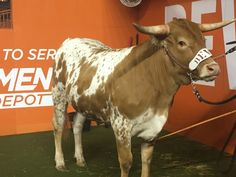 Bevo XV pulls off the biggest win of his young career Hook Em Horns, University Of Texas, Texas Longhorns, Athletes, Ems, Man Cave, Career, Sports, Animals