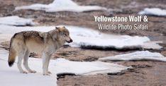 Wolf, Yellowstone National Park, Wyoming, USA