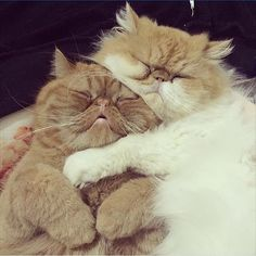 What do you need to know before considering Persian cat adoption? Read a few answers on our website. Pretty Cats, Beautiful Cats, Animals Beautiful, I Love Cats, Crazy Cats, Cool Cats, Baby Animals, Funny Animals, Cute Animals