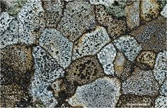 "Map lichen forms different shapes that are outlined hence the name ""Map Lichen"""