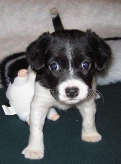Aki the Border Collie Beagle mix