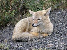 Chilla (Pseudalopex griseus) | Flickr - Photo Sharing!
