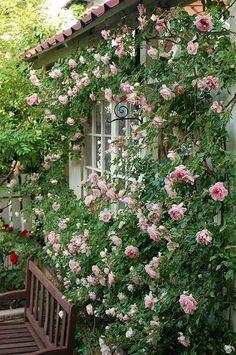 バラ : 私の小さな庭のお花達