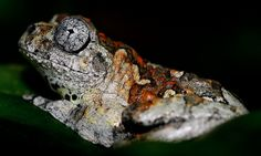 Marbled Tree Frog (Dendropsophus marmoratus) Les Reptiles, Reptiles And Amphibians, Amazing Frog, World Cat, Poison Dart Frogs, Turtle Love, Frog And Toad, Tree Frogs, Lizards