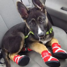 Hi there! | 19 Tiny Dogs Wearing Even Tinier Shoes