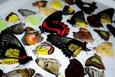 5 Pack Assorted Real butterfly Big and Medium butterfly, beautiful butterfly, real insects, taxidermy butterfly, you will receive Insect Crafts, Insect Art, Bark Beetle, Carpenter Bee, Big Butterfly, Beautiful Butterflies, Taxidermy, Insects