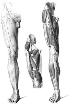 Muscle structure, leg muscles anatomy, leg anatomy, human body anatomy, m. Human Anatomy For Artists, Human Anatomy Drawing, Human Body Anatomy, Male Figure Drawing, Figure Drawing Reference, Anatomy Reference, Pose Reference, Leg Anatomy, Leg Muscles Anatomy
