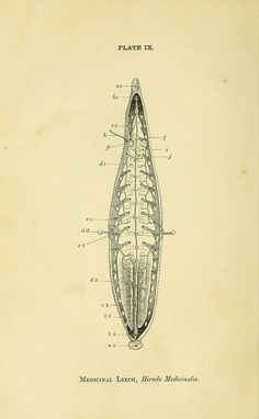 Medicinal Leech, BioDivLibrary, via Flickr