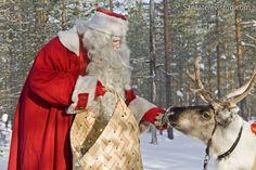 Joulupukin poro syö jäkälää