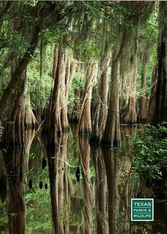 Primeval looking forest at Caddo Lake State Park in east Texas.  Paddle through this forest in a canoe.  You almost expect to see dinosaurs.