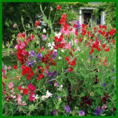 Duftwicken, duftende Kletterpflanzen.  Duftwicken bieten sich für vielfältige Gestaltungen an, regelmäßiges Wässern und Düngen dankt die Duftwicke mit prächtigen Blüten  http://www.gartenschlumpf.de/duftwicken/