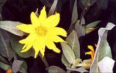 yellow_dd_65-517s