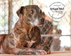 Hi, my name is Ollie!  I am about seven years old & 45 pounds and I love people.  I am a tripod. I don't get along well with other dogs, so I need a home where I am the only pet.  I would love to curl up in your lap and get attention, would you take...
