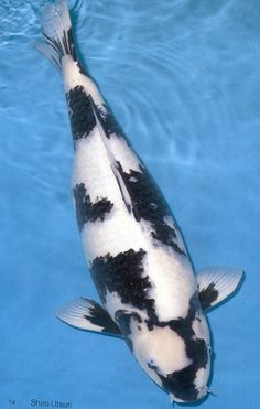 Black & White Koi, near perfect.