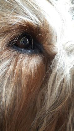 Adorable Dogs, Adorable Animals, Pet Dogs, Doggies, Irish Wolfhounds, Tu Me Manques, Bearded Collie, Fluffy Dogs, My Dream Came True
