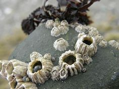 Striped Barnacles