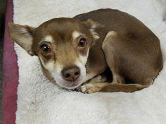 Meet Brownie - an adoptable pet Dog   lostourhome.org Tempe AZ    Share!!