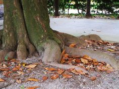 Le radici, una mano che non molla la terra, nonostante, anno dopo anno, debba lasciare le sue foglie,