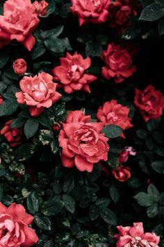 Belas rosas 🌹🌿🌹🌿🌹 little gardens, my flower, beautiful flowers, Beautiful Rose Flowers Images, Beautiful Flowers, Red Flowers, Plant Aesthetic, Flower Aesthetic, Wallpaper Flower, Iphone Wallpaper, Tumblr Photography, Nature Photography