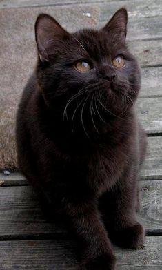 Black kitten  Look at those caramel eyes!                                                                                                                                                                                 More
