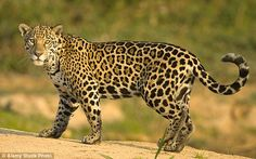 The jaguar is one of the most fascinating creatures found in the wild. Presented below are some jaguar animal facts that will be interesting to read. Animal Jaguar, Beautiful Cats, Animals Beautiful, Jaguar Habitat, Jaguar Tier, Animals And Pets, Cute Animals, Rainforest Animals, Big Cats