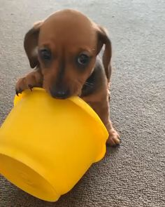 Dachshund Puppy I'm cute and I don't know it. just have to chew everything around. I'll get ya plastic thing ! just have to chew everything around. I'll get ya plastic thing ! Cute Puppy Pictures, Cute Puppy Videos, Cute Animal Videos, Dog Videos, Videos Funny, Cute Funny Animals, Cute Baby Animals, Background Grey, Dachshund Funny