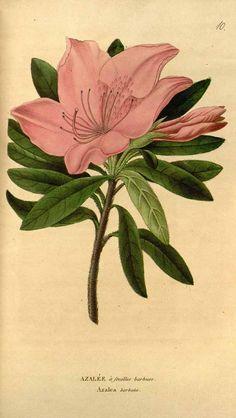 116052 Azalea barbata (Wall. ex G. Don) Kuntze / Annales de flore et de pomone: ou journal des jardins et des champs, ser. 3, vol. 1: t. 10 (1817) [n.a.]