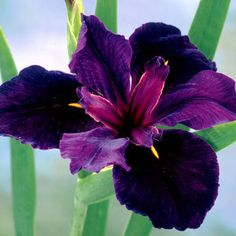 'Black Gamecock', a Louisiana Iris. These Iris are available in various colors; grow in many types of soils, but absolutely flourish in wet soils, regaling you with giant near-black blooms in early summer and returning effortlessly year after year! Dark Flowers, Iris Flowers, Exotic Flowers, Amazing Flowers, Purple Flowers, Planting Flowers, Beautiful Flowers, Flower Gardening, Yellow Roses