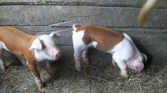 Registered hereford pigs Hereford Pigs, Cute Piglets, Piggly Wiggly, Teacup Pigs, Baby Pigs, This Little Piggy, Animal Projects, Livestock, Farm Animals