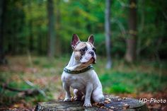 Me french bulldog - null
