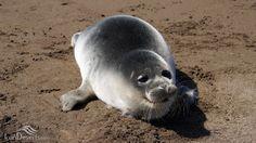 Caspian seal, Caspian Sea, Iran (in Persian: فک خزری)