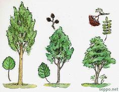 Haapa - leppä - pihlaja, keywords: puulaji haapa leppä pihlaja Populus tremula Alnus incana Sorbus aucuparia