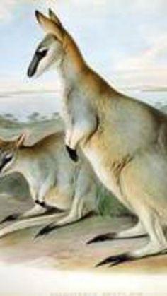 Toolache wallaby Year declared extinct: 1937 or 1970's (Photo public domain via Wikipedia)