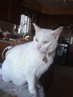 Lost Cat - American Shorthair - Hamilton, ON, Canada L9K 0B8