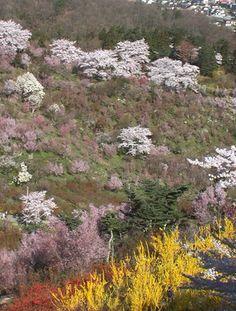 花見山(2007)