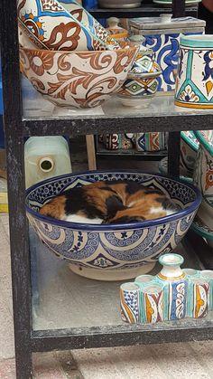 Chat d'Essaouira, Maroc