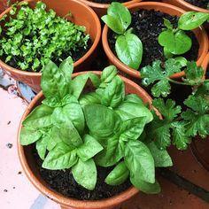 Italian large leaf #basil #italianbasil #herbsinpots #herbs #rain
