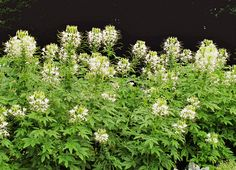 """Genus: C. hassleriana 'White Queen' Zones: All Zones Cost: $1 to $4 Expert says: """"To make a big splash in a sunny area, plant cleome. From late June to frost, you'll have four- to five-inch spiderlike blooms."""" — Jon Carloftis, landscape designer, Lexington, Kentucky  - GoodHousekeeping.com"""