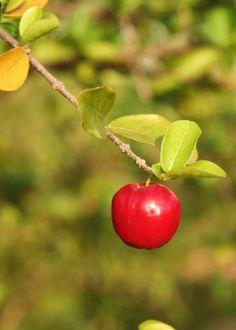 Rústica, acerola é fácil de cultivar e pode dar frutos o ano inteiro. Plante no…