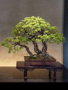 Saitama Omiya Bonsai Museum - Five needles pine tree. Kabudachi (multi trunk) Bonsai style.