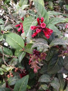 Red Cestrum (cestrum elegans strybing ruby): 6 to 10 feet, open habit with oval leaves, and clusters of red flowers.