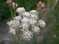 Seseli montanum, Bjergsteppe-Fennikel. Staude. Meget findelt løv og yndige hvidrosa skærme i juli - september. Ligner vild kørvel i en forfinet udgave.  Gror naturligt i bjerge, veldrænet jord i vintertiden. Trives i veldrænet jord i sol. Bryder sig ikke om omplantning, da den har pælerod. 60 - 70 cm.