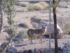 Coyote near the fence
