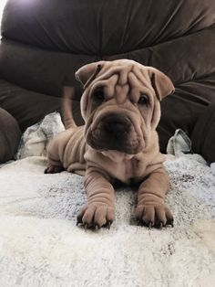 Dogs cure ARD, and cats - neuroses: 5 animals that help in fighting various diseases Cute Funny Animals, Cute Baby Animals, Animals And Pets, Cute Puppies, Cute Dogs, Dogs And Puppies, Doggies, Shar Pei Puppies, Sweet Dogs