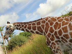 Giraffe on safari at Animal Kingdom;  October 2011
