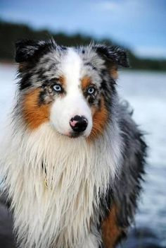Australian shepherd...wonderful dogs