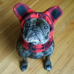 The major breeds of bulldogs are English bulldog, American bulldog, and French bulldog. The bulldog has a broad shoulder which matches with the head. Animals And Pets, Baby Animals, Cute Animals, Bulldogge Tattoo, Cute Puppies, Cute Dogs, French Bulldog Puppies, Teacup French Bulldogs, Frenchie Puppies