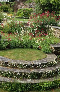 Ox-eye daisies ( Leucanthemum vulgare ), the Mexican daisy (Erigeron karvinskianus), Convolvulus cneorum, and Valerian (Centranthus ruber) growing in the walls and circular steps at Great Dixter