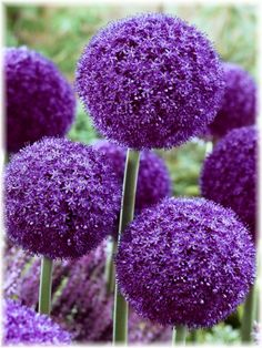 Amazing Deer-Resistant Allium